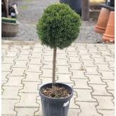 Borievka čínska, Juniperus chinensis, črepník 15l