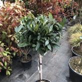 Vavrínovec lekársky ´Otto Luyken´, Prunus laurocerasus ´Otto Luyken´, kont. 10l