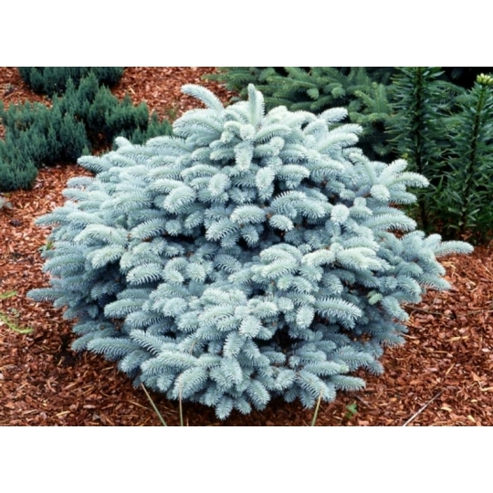 Smrek pichľavý strieborný, Picea PUNGENS GLAUCA GLOBOSA [NANA] CLT 3 30/40