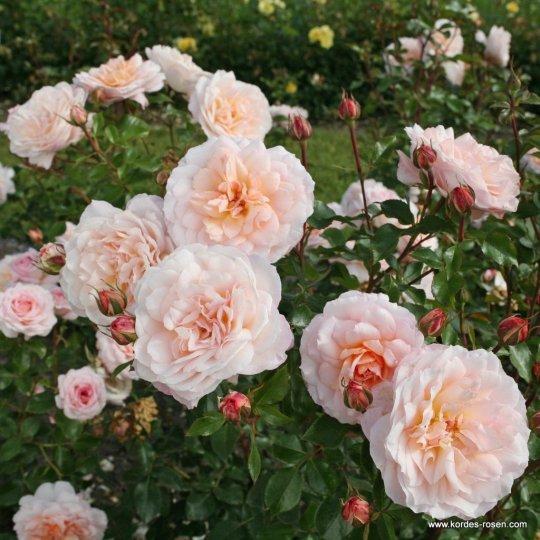 SCHLOSS EUTIN -ruža kríková, KORDES