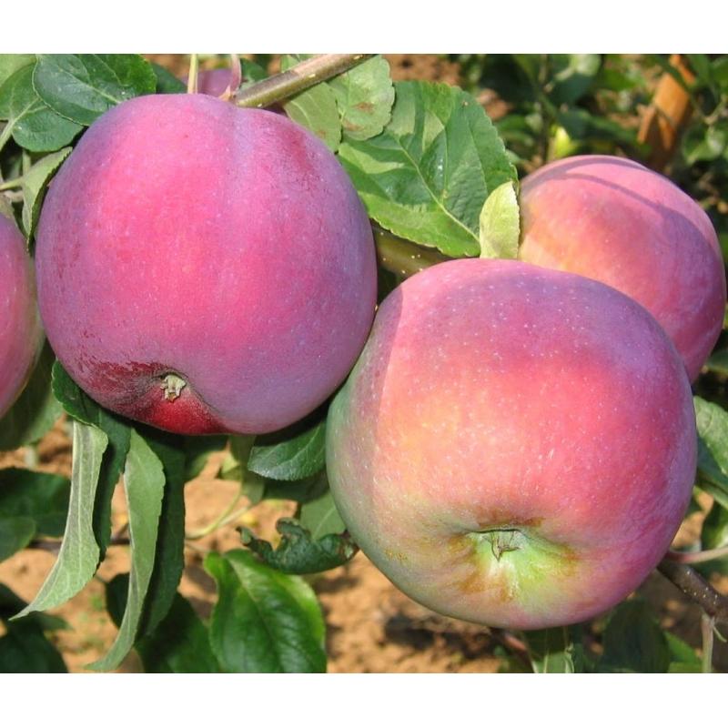 Jabloň letná ´VISTA BELLA´ podp. MM106