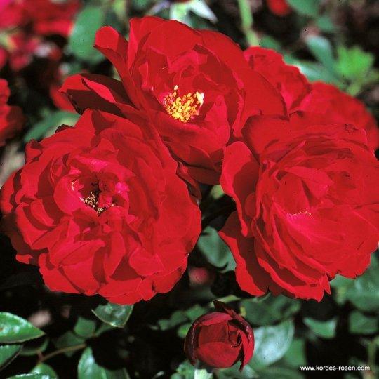 ULMER MÜNSTER, ruža kríková, KORDES, kont. 2l
