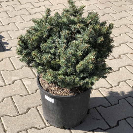 Smrek pichľavý strieborný - zakrslý, Picea PUNGENS GLAUCA GLOBOSA [NANA], 30-40cm, kont. 3l