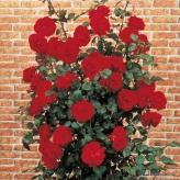 Ulmer Münster-ruža kríková, KORDES