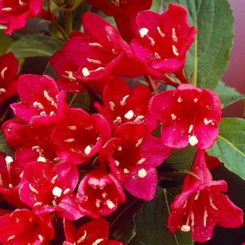 Vajgela kvetnatá ´RED PRINCE´, kont. 2L