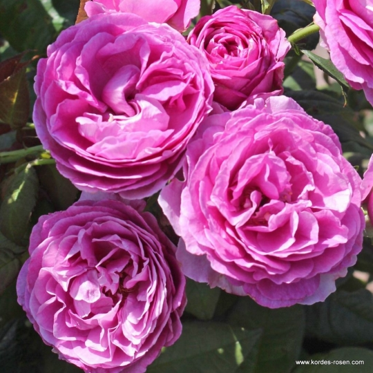 CARMEN WÜRTH™, ruža mnohokvetá , kont. 2l