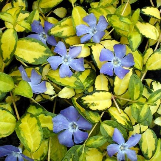 Zimozeleň menšia 'BLUE AND GOLD, 15-20cm, kont. K9