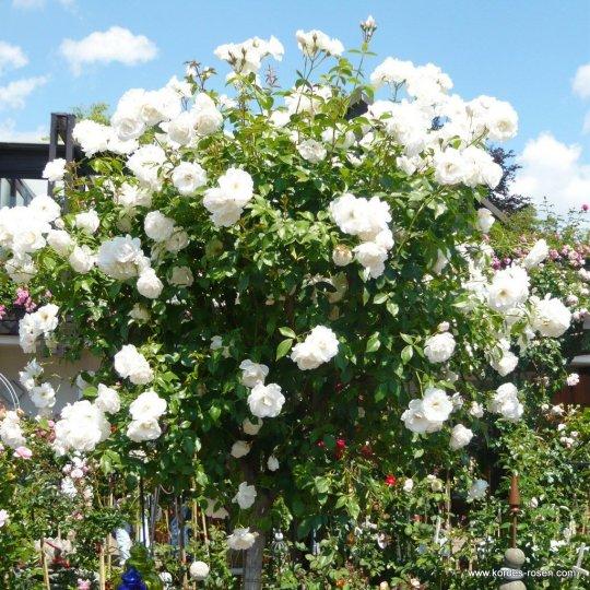 Schneewittchen-ruža kríková, 120-150cm, KORDES