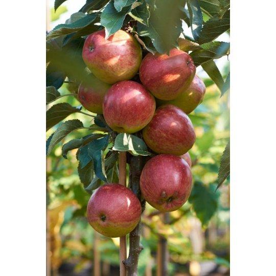 Jabloň REDCATS, stĺpovitá, jesenná, voľný koreň