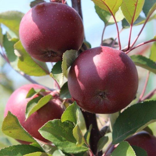 Jabloň RED SPRING, stĺpová, jesenná, voľný koreň