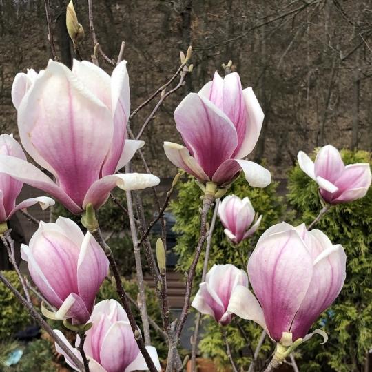Magnolia solangeana ´LENNEI´, kríková 190cm, kont. 20L