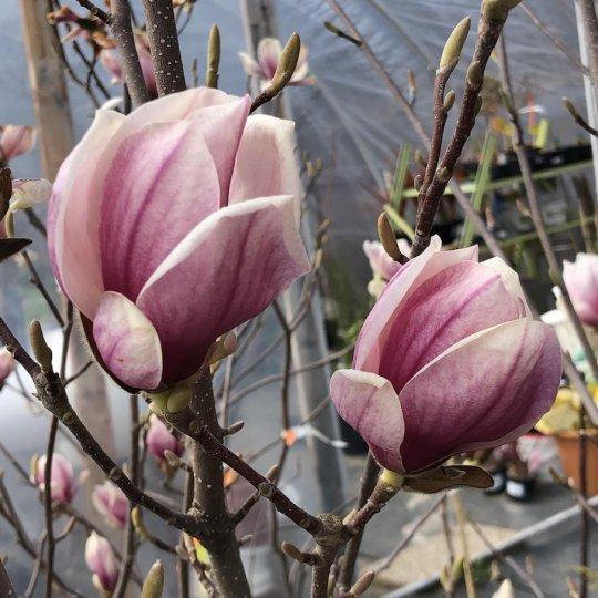Magnolia soulangeana, kríková 190cm, kont. 20L