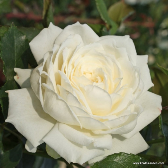 ALASKA - ruža popínavá, KORDES