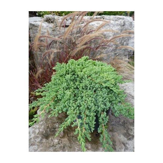 Borievka poliehavá ´NANA´, 20-30 cm, kont. 2,5l