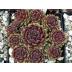 Skalná ruža 'AMERICANOS', kont. 0,5l