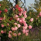 Sweet Laguna-ruža popínavá,KORDES