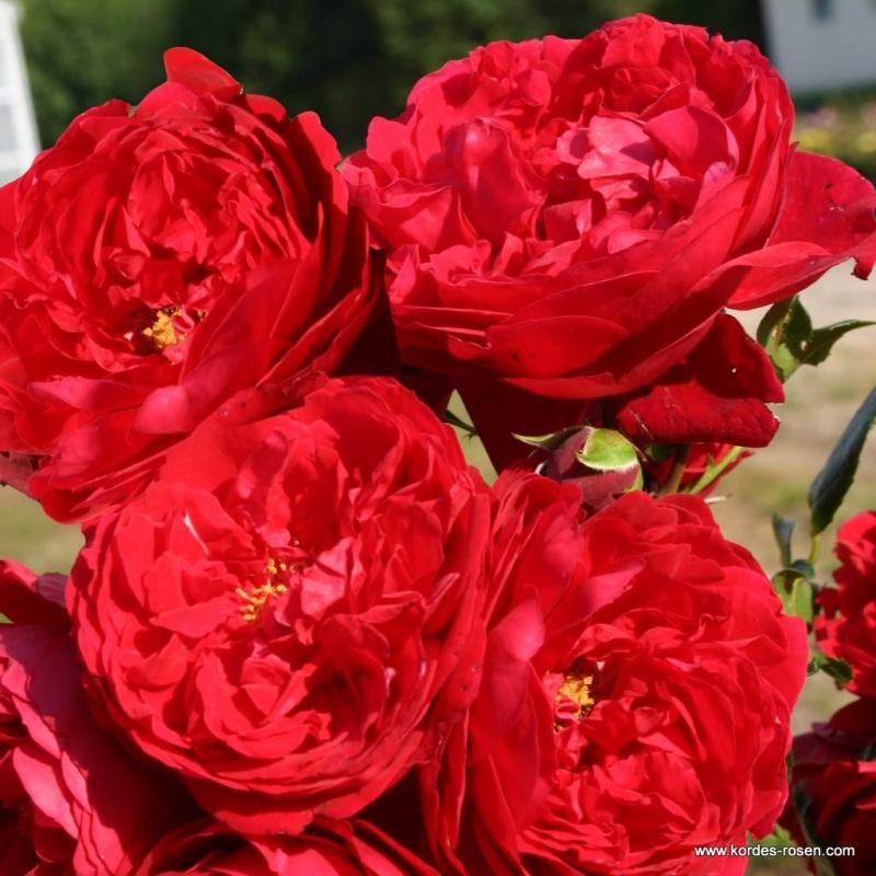 FLORENTINA - ruža popínavá, KORDES, kont. 2l