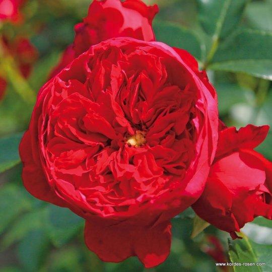 Florentína-ruža popínavá,KORDES