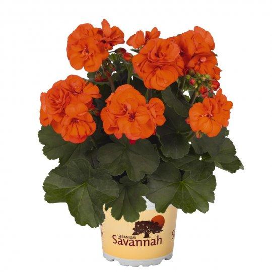 Muškát oranžový  'OH SO ORANGE', 10 pack