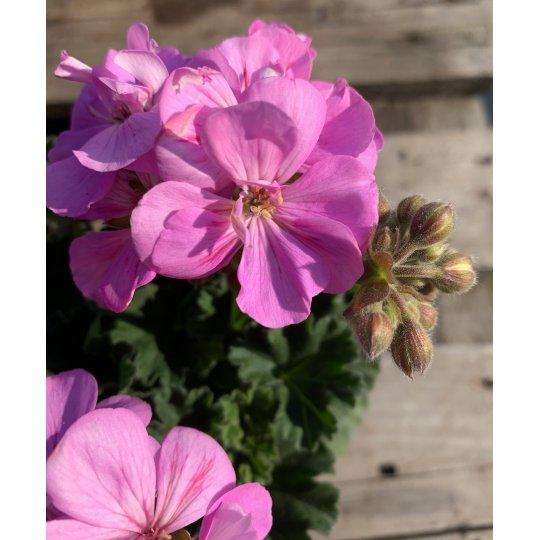 Muškát ružový ´GRETA´, kont. 0,75 l