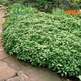 Pachysandra vrcholová 'GREEN CARPET', kont. 0,5l