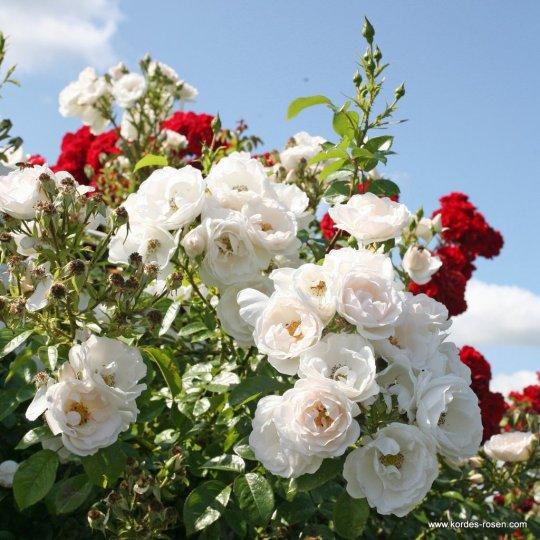 HELLA - ruža popínavá, KORDES