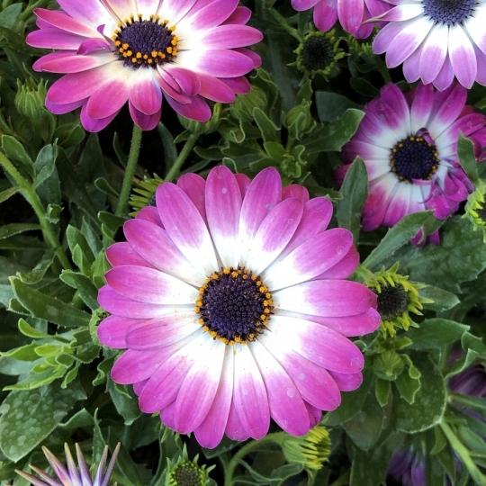 Osteospermum fialovobiele 'PINK FLARE', kont. 0,75l