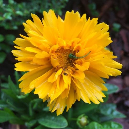 Krásnoočko mnohokveté ´EARLY SUNRISE´, kont. k9