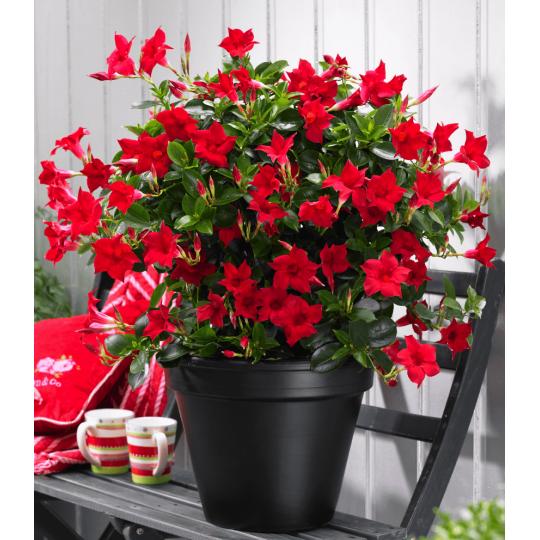 Mandevilla 'RED', červená, 15-20cm, kont. 0,5l
