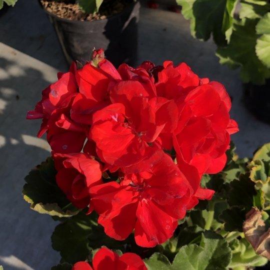 Muškát  červený ´BRIGHT RED´, kont. ,0,75l