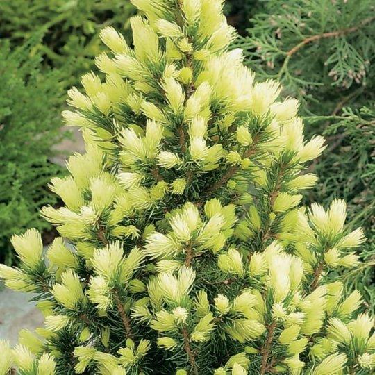 Smrek biely - Picea glauca ´CONICA´, kont. 2l