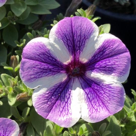 Petunia 'VIOLET STAR', kont. 0,5l