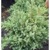 Borievka, Juniperus procumbens ´Nana´ kont.2l