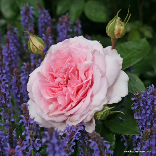 ALEXANDRA® - Princesse de Luxembourg, ruža kríková, kont. 2l