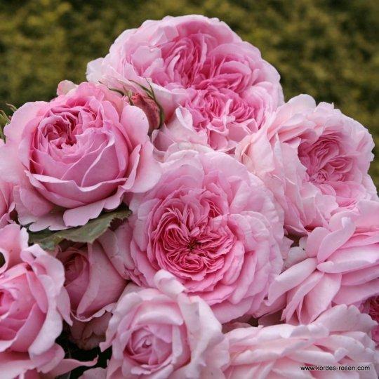 ALEXANDRA® - Princesse de Luxembourg, ruža kríková