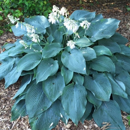 Hosta BLUE ANGEL