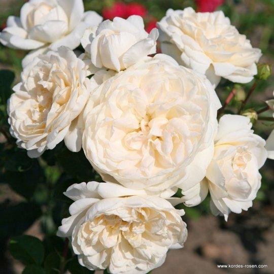 SUMMER MEMORIES, ruža kríková, KORDES, kont. 2l