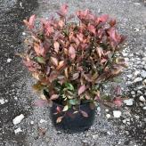 Photinia ´RED ROBIN NANA´, 30-40cm, kont. 9l