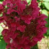 Hortenzia metlinata, Hydrangea paniculata 'Wim_s Red', 2 L        30 - 40 cm