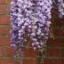 Wisteria frutescens, americká vistéria, 180cm