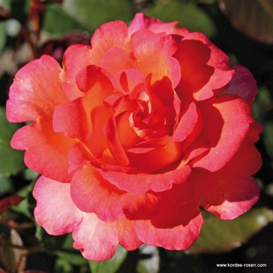 FAIREST CAPE - ruža veľkokvetá KORDES, kont. 2l