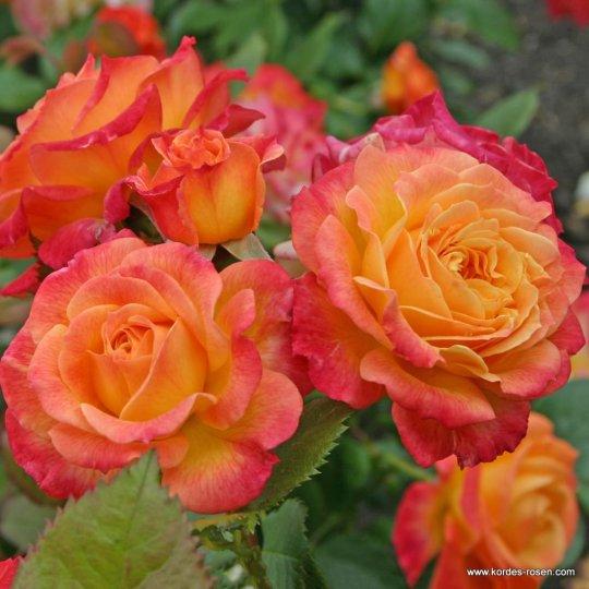 Gartenspaß ® ruža mnohokvetá, KORDES, kont. 2l