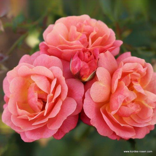 PEACH MELBA® popínavá ruža, KORDES, kont. 2l