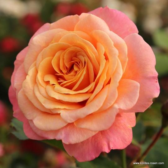 Ruža popínavá 'PEACH MELBA'®, Kordes, kont. 2l