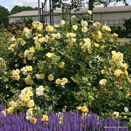 GOLDSPATZ®, ruža kríková, KORDES, kont. 2l