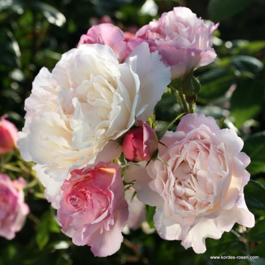 HERKULES®, ruža kríková, KORDES, kont. 2l