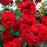ROTER KORSAR ® ruža kríková, KORDES, kont. 2l