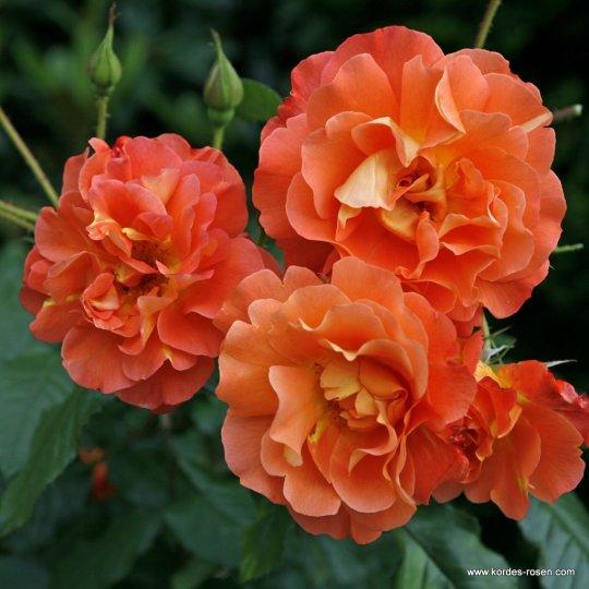 WESTERLAND®, ruža kríková, KORDES, kont. 2l