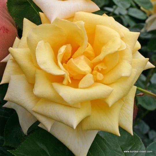 BEROLINA, ruža veľkokvetá, KORDES, kont. 2l