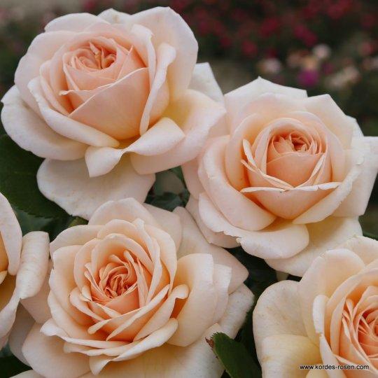 COURAGE®, ruža mnohokvetá, KORDES, kont. 2l